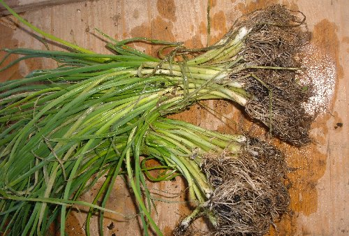 Cipolla in mazzi da 40 1 00 euro for Piantine orto prezzi