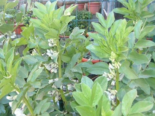 Cimatura delle fave coltivare l 39 orto for Cimatura pomodori