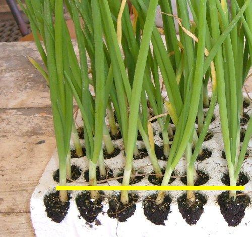 Profondit di trapianto dei principali ortaggi coltivare for Piantine ortaggi