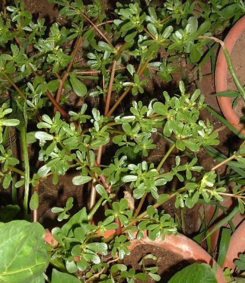 Valeriana coltivare l 39 orto for Portulaca commestibile