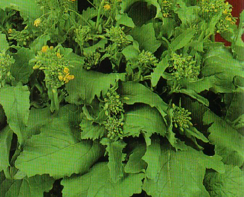 1400 semi cima di rapa 90 testa grossa 2 grammi for Semina arachidi