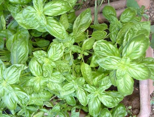 Febbraio nell orto tabella delle semine coltivare l 39 orto for Seminare basilico