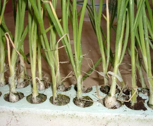 Settembre nell orto tabella di tutte le semine for Semina cipolle