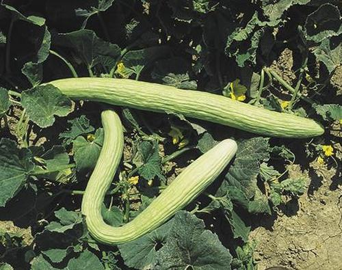 Coltivare i cetrioli nell orto di casa coltivare l 39 orto for Coltivare meloni