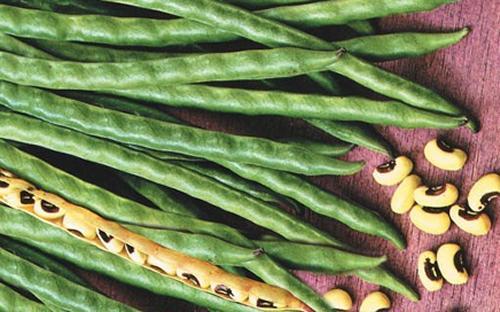 Cannellini coltivare l 39 orto for Quando si piantano i fagioli