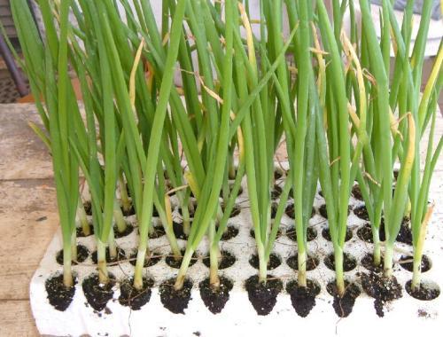 Cipolla coltivare l 39 orto for Semina cipolle
